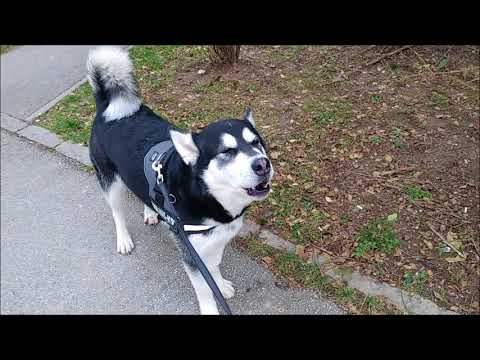 Some events in the day of an Alaskan Malamute #6