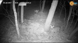 Koziołek sarny w karmisku dla zwierząt w lesie na Podkarpaciu