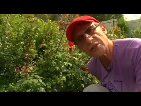 Прививка розы на шиповник. Сергей Богатский:3 минуты о загородной жизни