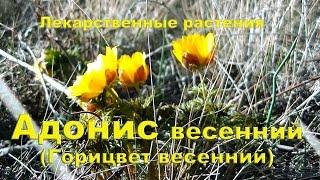 Адонис весенний (Горицвет весенний) | Лекарственные растения