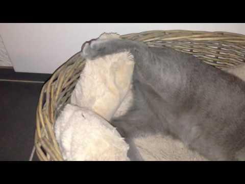 Russian Blue Cat - sleeping kitten