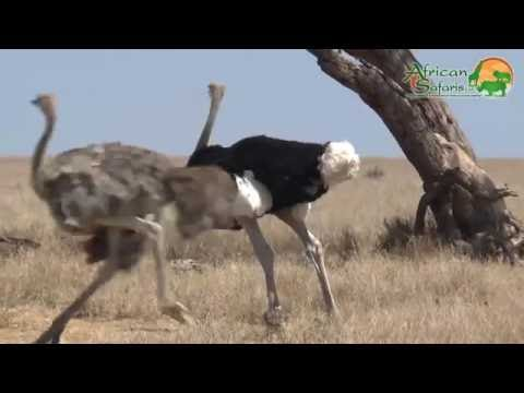 Ostriches - The largest birds in the world