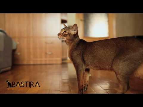 Питомник o'rpuni, санкт-петербург. Ориентальные и сиамские кошки и котята.