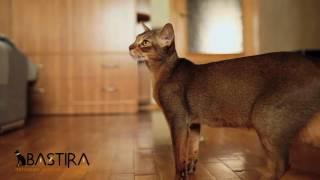 "Абиссинские кошки, питомник ""Bastira"""