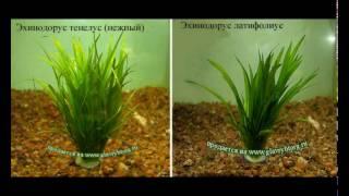 Аквариумные  растения и их названия!