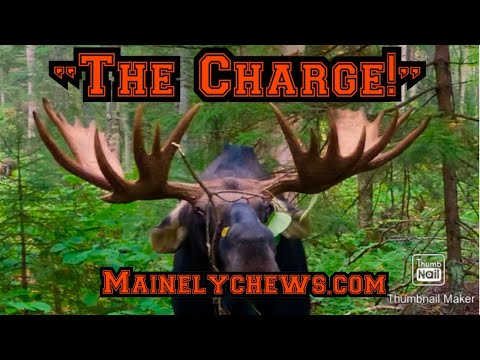 """Maine Moose Hunting/ Calling...""""The Charge"""""""
