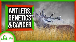 Antlers: The Secret to Deer's Cancer-Fighting Superpowers