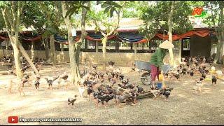 Hiệu quả kinh tế từ nuôi gà Đông tảo lai ở Đồng Phong
