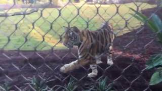 LSU's Mike the Tiger makes campus debut thumbnail