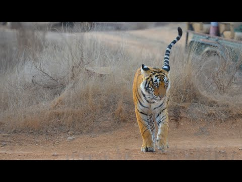 Splendours Of Ranthambore National Park, India - Amazing Tiger Encounters On Safari In Zones 1-10