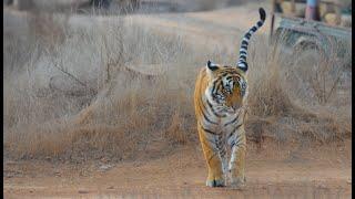 Splendours of Ranthambore National Park, India - Amazing Tiger Encounters on Safari in Zones 1-10