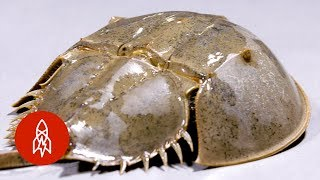 These Crabs Have Been Crawling Before the Dinosaurs