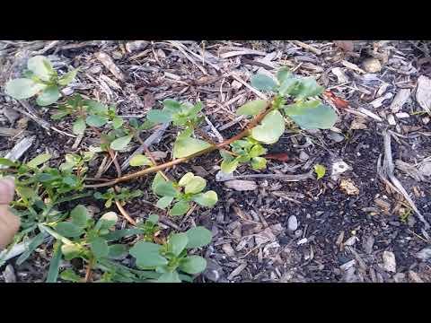 Purslane in my garden. Oh how tasty it is.