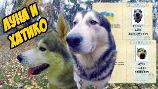 Хаски Луна против Хатико | Как выбрать имя для собаки