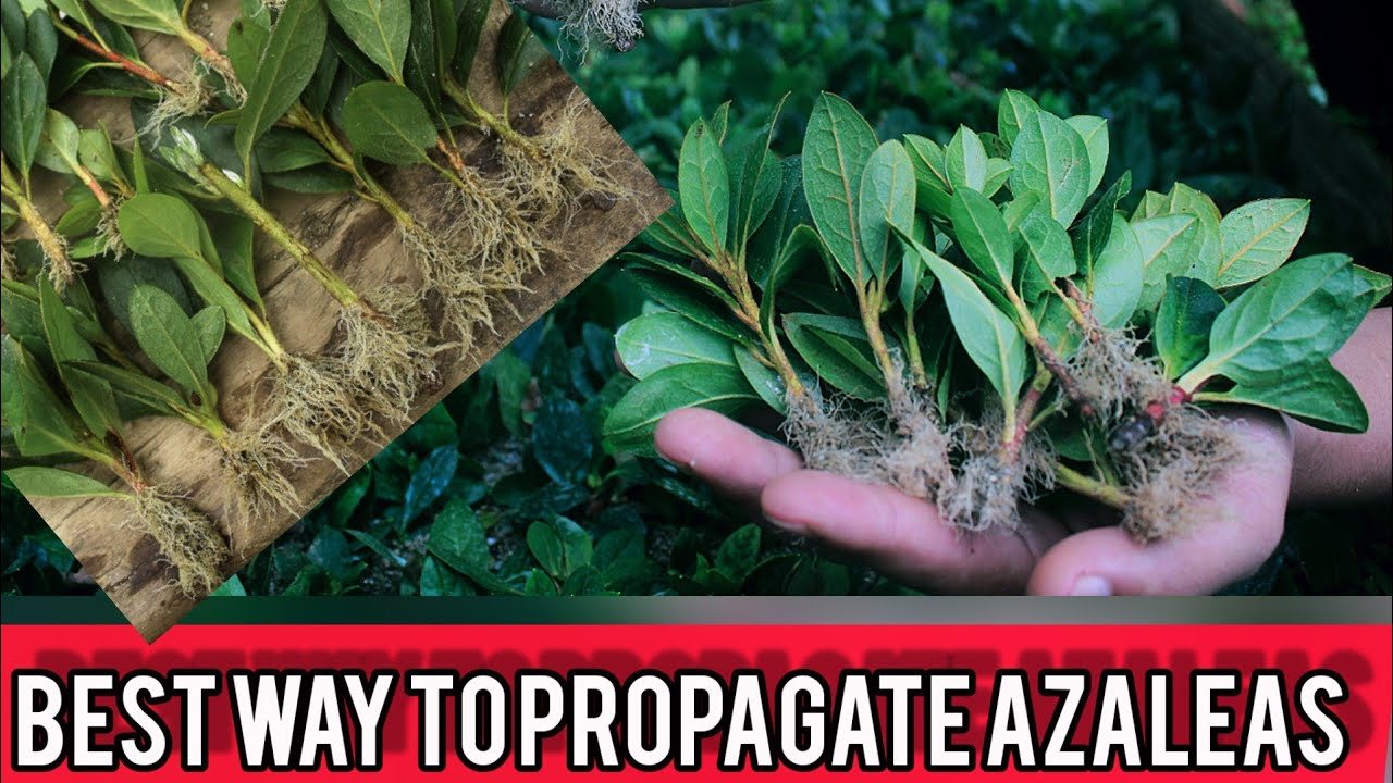 Download How To Propagate Azaleas From Cuttings   full explanation