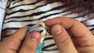 Как понять что самка беременна, волнистые попугаи, разведение.