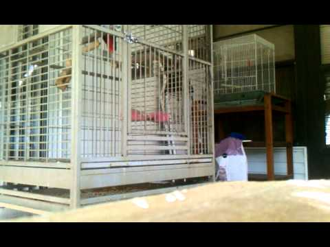 African Grey parrots whistles and talks