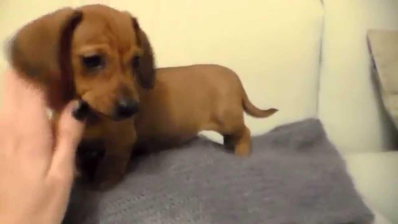 Meraviglioso Cucciolo Di Bassotto Maschio Fulvo Youtube