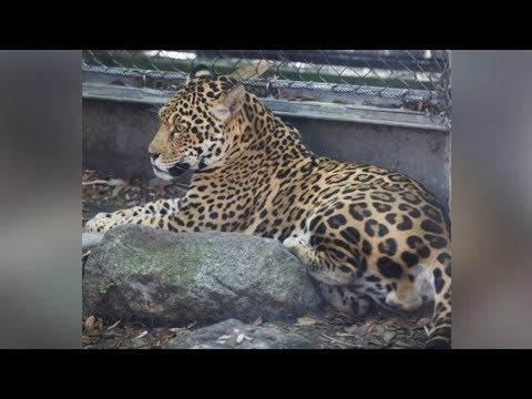 Jaguar escapes exhibit, kills 6 animals at Audubon Zoo New Orleans