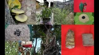 Tribal Medicines of Gandhamardan Hills for Hydrocephalus: Film by Pankaj Oudhia
