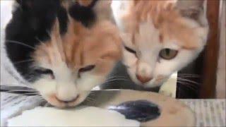 近所を毎日うろうろする野良ネコ チャトラの子猫とミケの親猫が来て餌を...