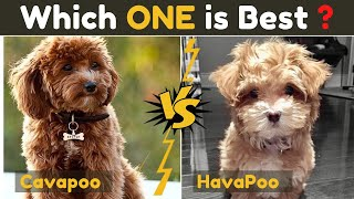 Havapoo Vs Cavapoo ( Cavoodle ) Comparison Between Two Poodle Mix Small Dog Breed
