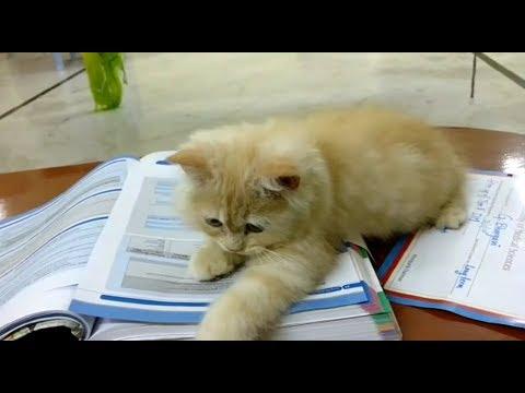 Cute Persian cat playing ~ friendly cat