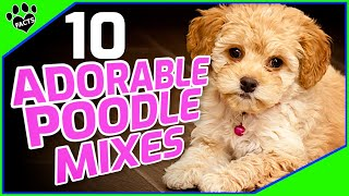 Cutest Small Poodle Mixes  OMG So Cute