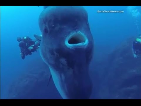 Facts: The Ocean Sunfish (Mola mola)