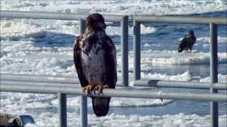 Stewards December 27, 2013 Immature Eagle rail sitting