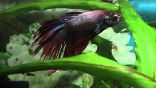 Бойцовая рыбка или сиамский петушок.