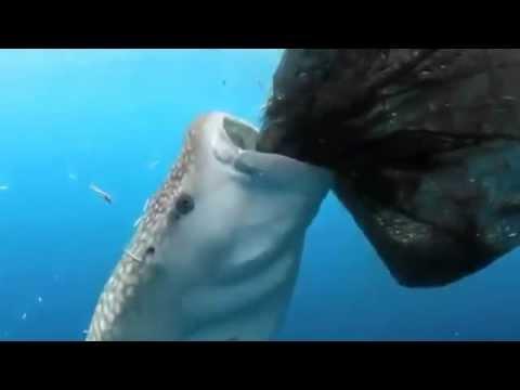 Tiburon ballena succiona pez de la red de pesca   Videos   MetaTube