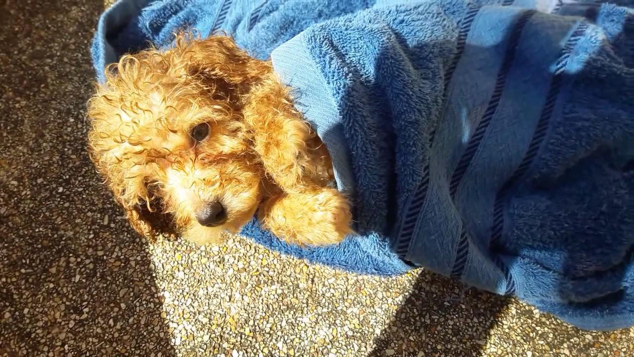 Resultado de imagen para poodle pup bath
