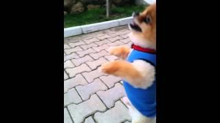 Boo Dog Turkiye Satilik Pomeranian 05333974577
