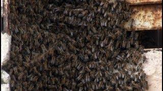 На лоджии поселился пчелиный рой.MestoproTV
