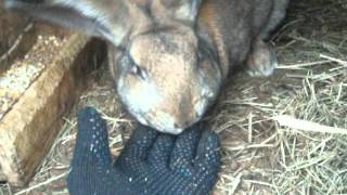 Кролик метит территорию