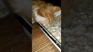 Чем кормить Мейн куна в 4 недели или кормление котят Кунокашей в 4 недели
