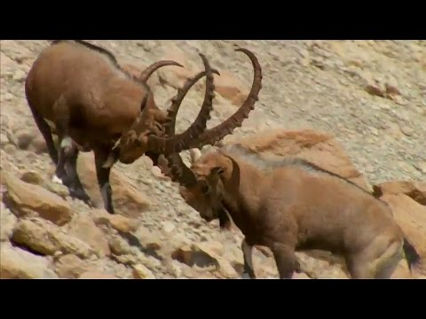Ibex Fight for Mating Rituals | Wild Arabia | BBC Earth