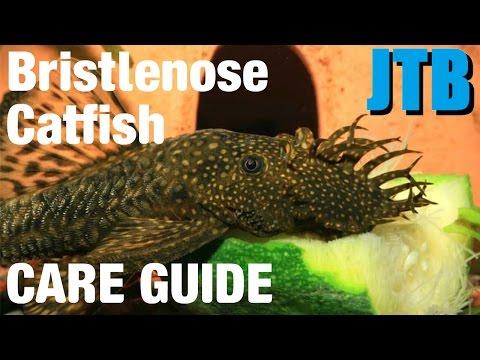 Bristlenose Catfish Care