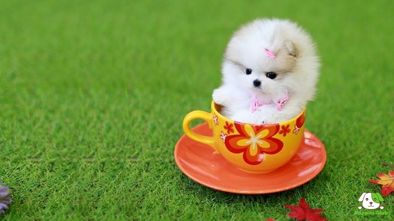Amazing Things About Teacup Pomaranian