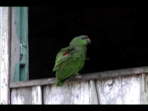 Nova Jerusalem - Parrot clip