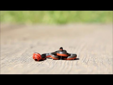 Pacific Ring Necked Snake