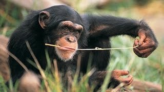 Wild Animals: Chimp Uses Twig to Fish for Termites