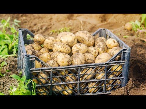 Урожайность ривьеры и аризоны. Копаем картофель из под спанбонда.2020.