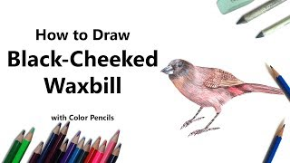How to Draw a Black-Cheeked Waxbill with Color Pencils [Time Lapse]