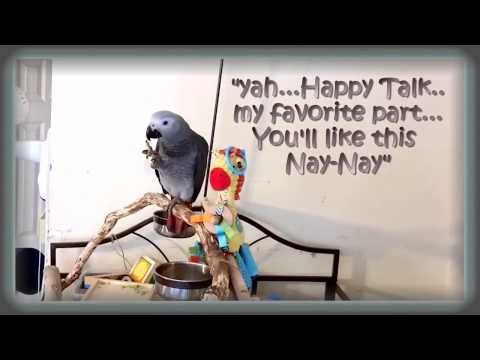 Happy Talk 4 Mos African Grey Watching South Pacific With His Nay-Nay