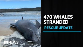 More than 450 whales beached in Tasmania's largest recorded stranding | ABC News