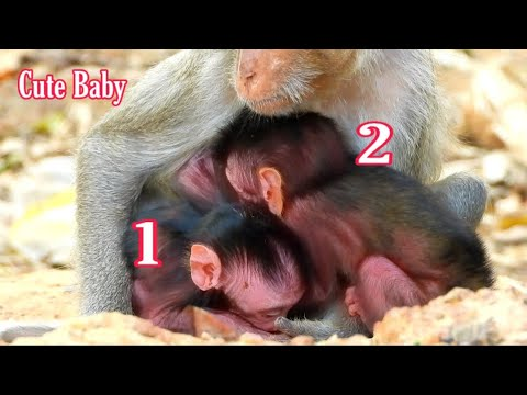 @POPULAR DAILY Cutest Baby Monkey Wildlife, Look They Very Lovely So Much, The Wildlife Monkey