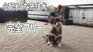 チワワの子犬 室内フリーに!トイプードルの大人しい先住犬は受け入れ出来るか!? screenshot 5