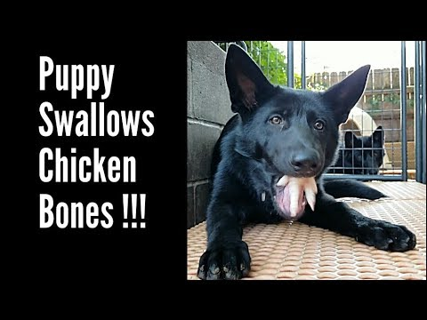This Is What Happens When You Feed RAW Food To Puppies!!!